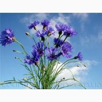 Продам Волошки Садовые и много других растений (опт от 1000 грн)