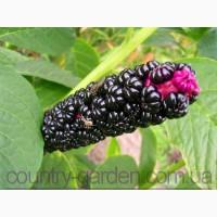 Продам саженцы Лаконос и много других растений (опт от 1000 грн)