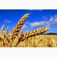 Предприятие закупает пшеницу по всей Украине