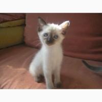 Котята тайские, породистые