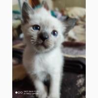 Сиамские голубоглазые котята
