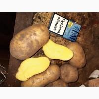 Продам Картошку, сорт Королева Анна 5+ картофель опт