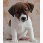 Питомник INFINITE GRACE UA предлагает щенков джек рассел терьер