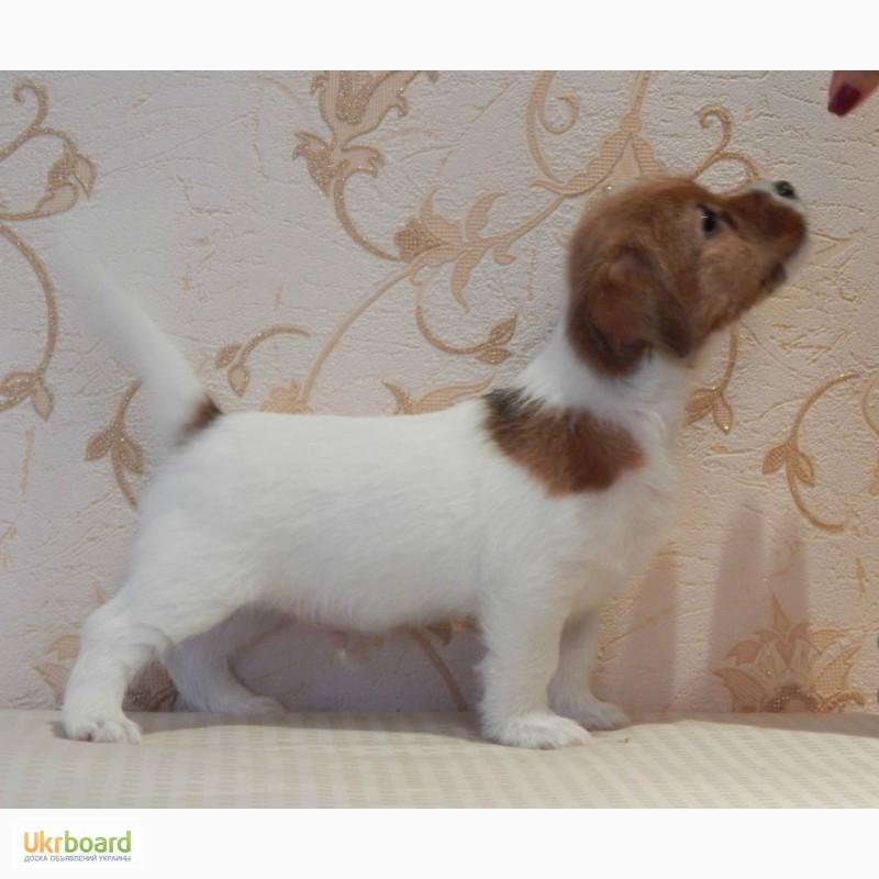 Фото 5. Питомник INFINITE GRACE UA предлагает щенков джек рассел терьер