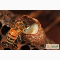 Маточное молочко пчелиное натуральное, отличное качество, , быстрая доставка по Украине