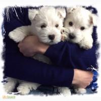 Щенки Вест Хайленд Вайт Терьер /West Highland White Terrier