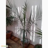 Пальма фінікова