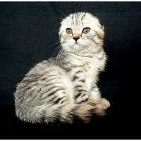 Элитный табби котенок Mike D. Angelo с паспортом и документами клуба, дата рождения 08.07
