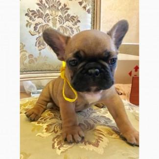 Продаются щенки французского бульдога! С родословными документами