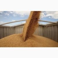Закупаем зерновые на крупорушку