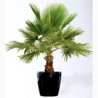 Семена веерных пальм 2-х видов + инструкция