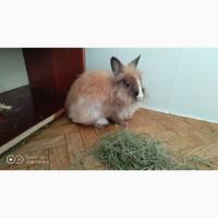Подарю декоративного карликового кролика