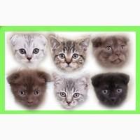 Котята шотландской вислоухой разных окрасов