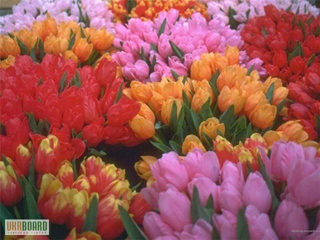 Купить тюльпаны оптом к 8 марта в днепропетровске подарок на 65 летие мужчине начальнику