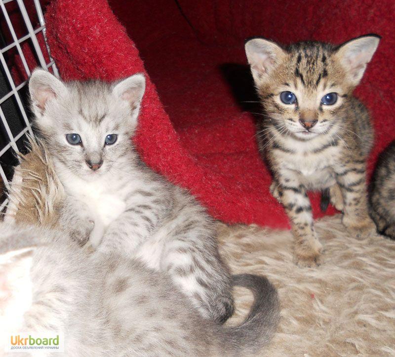Фото 1/3. Казкові F2 Саванна Кошенята доступно.