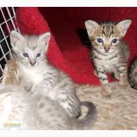 Казкові F2 Саванна Кошенята доступно.