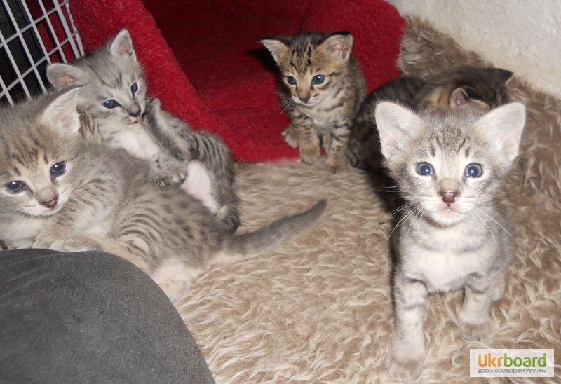 Фото 2/3. Казкові F2 Саванна Кошенята доступно.