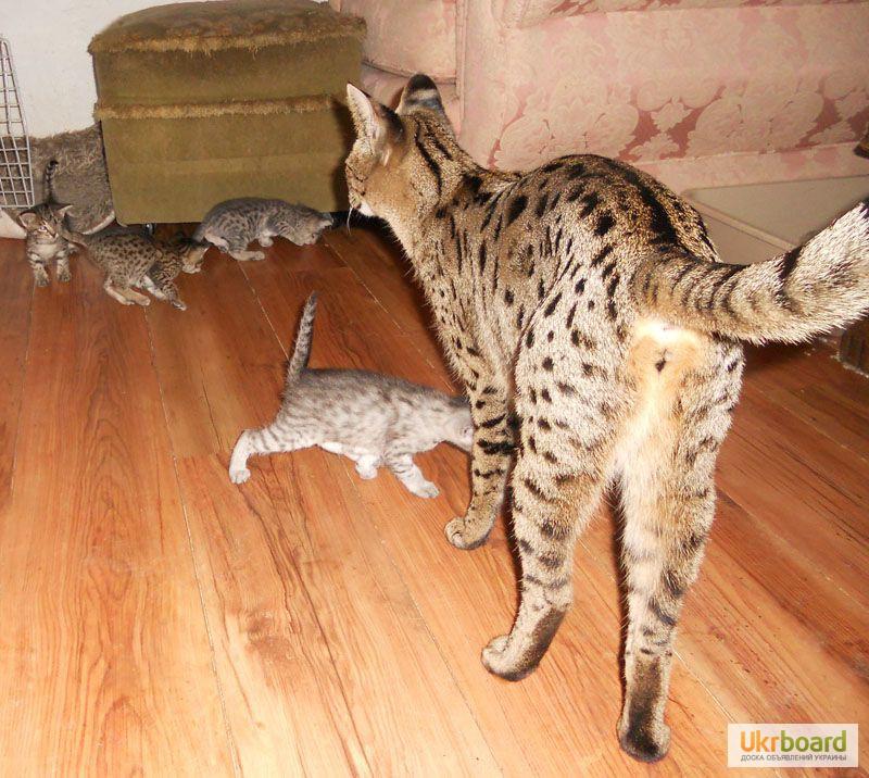 Фото 3/3. Казкові F2 Саванна Кошенята доступно.
