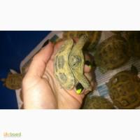Черепашки милашки, черепаха черепашка среднеазиатская сухопутная