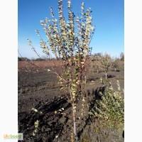 Плодовые деревья крупномеры