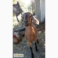 4-х месячные племенные козюли и козлики
