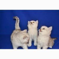 Котята шотландская прямоухая (скоттиш страйт)