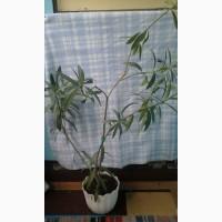 Продам комнатный цветок олеандр