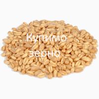 Омпанія закупляє пшеницю не класну