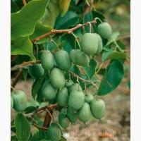 Продам саженцы Киви-мини - Актинидия и много других растений (опт от 1000 грн)