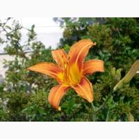 Продам корни Лилейника Оранжевого. Цена 10 грн. И много других растений (опт от 1000 грн)