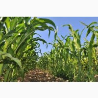 Гибрид Мадиво ФАО 340 семена кукурузы