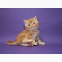 Экзотические красивейшие клубные котята, мальчик и девочка