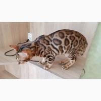 Бенгальские коты с клубными документами Киев