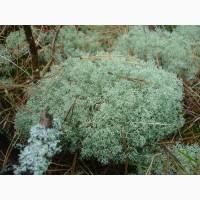 Ягель мох для улиток очищенный живой 35 грн