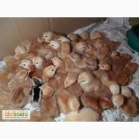 Суточные цыплята мясо-яичной породы Мастер-Грей, Ред-Бро, Испанка
